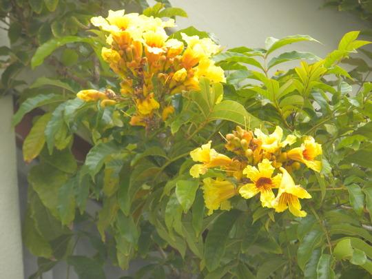 Markhamia lutea - Nile Tulip Tree Flowers (Tradescantia zebrina - Wandering Jew)