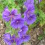 Geranium 'Johnson Blue' (geranium)