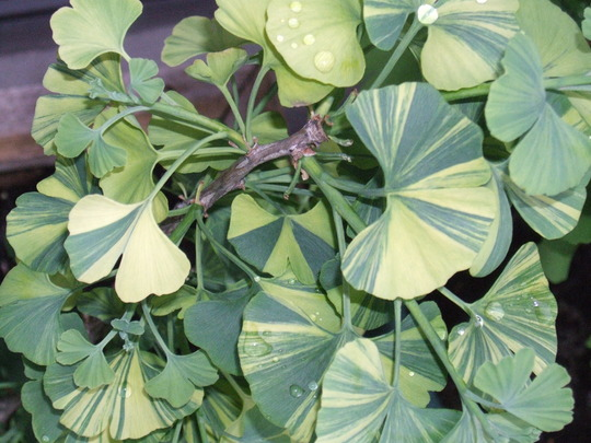 Another nice shot of Ginkgo biloba 'Majestic Butterfly' (Ginkgo biloba (Maidenhair tree))