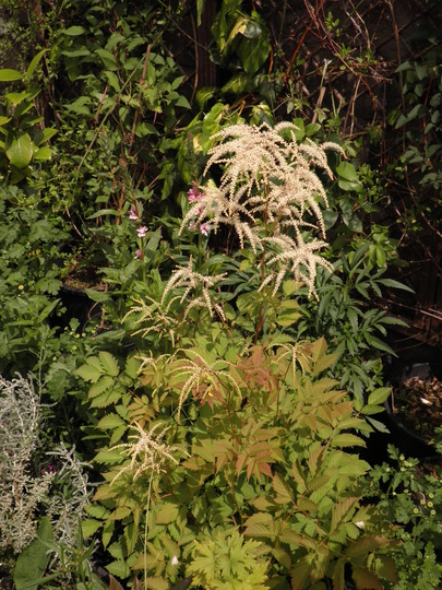 Nice shot of the Aruncus on the front ; )