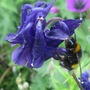 Bee on the Aquilegia...