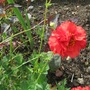 Red geum & Lysamachia...ground space for my Dahlias....