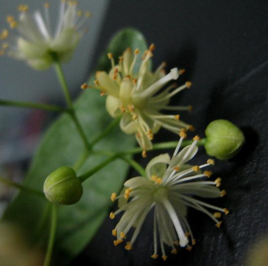 Linden blossoms (Tilia cordata (Ihlamur Agaci))