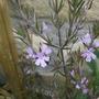 Westringia rosmarinifolius (Westringia rosmarinifolius)