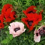 Papaver orientale (Oriental poppy) 'Coral Reef' and 'Brilliant' gales have blown them into a shrub.