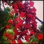 Close up of the Gulmohor... (Delonix regia)