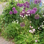 Alliums in front garden