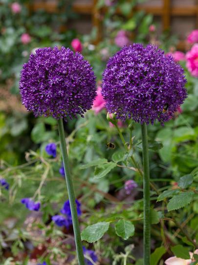Allium : Ambassodor  (Allium giganteum (Ornamental onion))