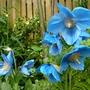 Meconopsis betonicifolia (Himalayan blue poppy)