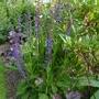 Salvia x sylvestris 'Mainacht' (Salvia x sylvestris)