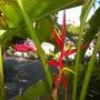 Heliconia scheideana - Claw Flower Flower Bracts (Heliconia scheideana - Claw Flower)