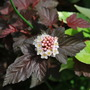 Physocarpus Lady in Red..... (Physocarpus opulifolius Lady in Red.)