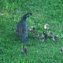 Father and several of his chicks outing