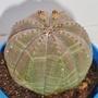Euphorbia_obessa_2
