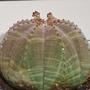 Euphorbia_obessa_1