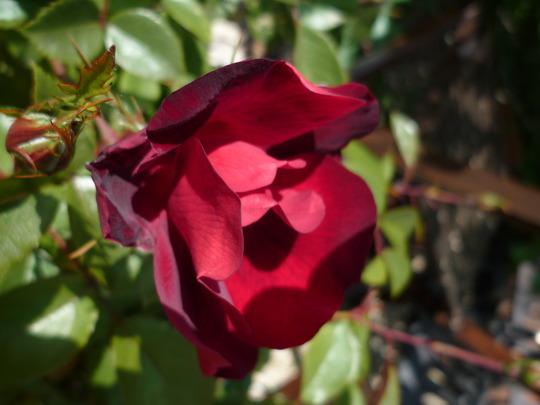 """Rosa """"La Sevilliana"""""""