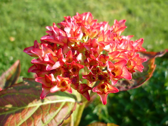Hydrangea purpre/blanche...