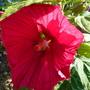 Hibiscus des marais Rouge (Hibiscus moscheutos (Common Rose mallow))
