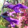 Blue sage with purple/black foliage