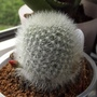 Rebutia muscula And The God Of Small Things.