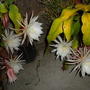 Epiphyllum oxypetalum - Queen of the Night Flowers (Epiphyllum oxypetalum - Queen of the Night)