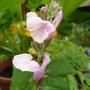 Salvia greggii 'Lara' (Salvia greggii 'Lara')