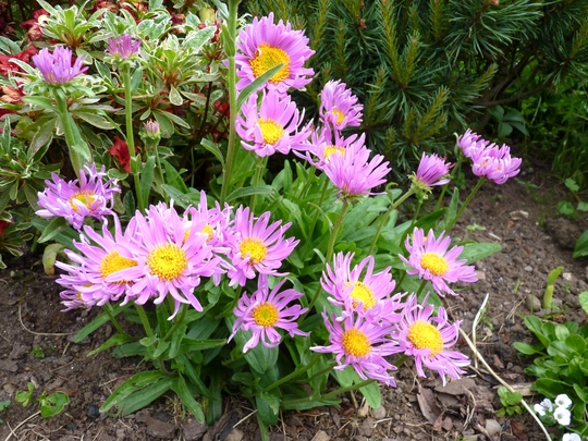 Aster 'Happy End Pink' (Aster alpinus (Alpenaster))