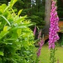 Foxglove self seeding (Digitalis purpurea)