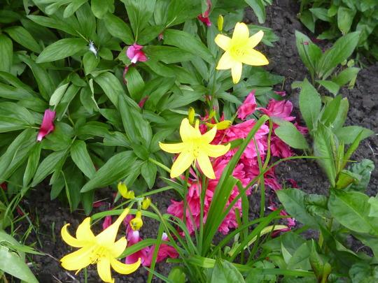 first daylilies of the season (Hemerocallis lilioasphodelus (Lemon Lily))