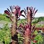 Euphorbia_trigona_rubra