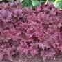 heuchera palace purple (Heuchera micrantha (Coral flower))