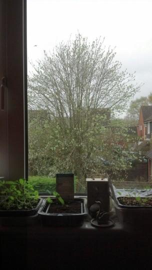 Whitebeam & Windowsill Nursery Early Morning May'13 (Sorbus aria [Vistabile])