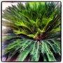 Palm...! (Phoenix roebelenii (Pygmy date palm))
