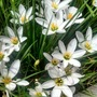 Rain Lily (Zephyranthes candida)