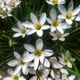 Another shot at another spot...  (Zephyranthes candida)