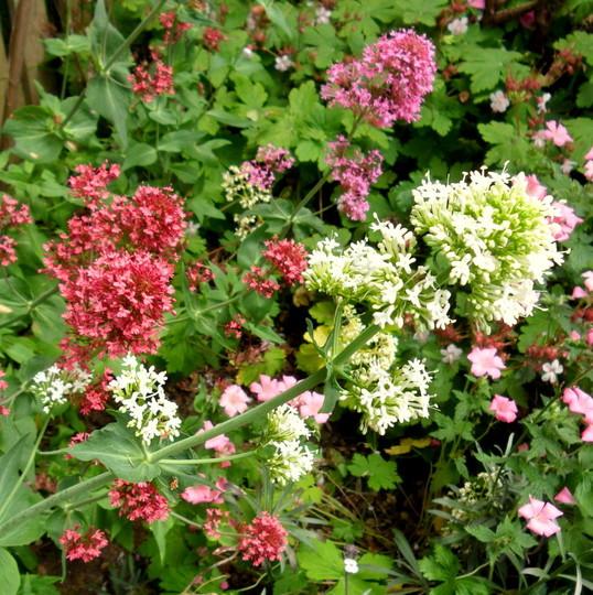 Pink & White Valerian  (Centranthus ruber 'Albus')