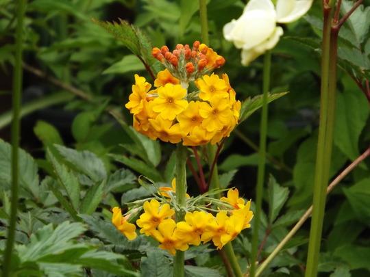 Primula bulleyana (Primula bulleyana)