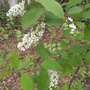 "Prunus canadensis, Prunus virginiana ""canada red' (Prunus virginiana)"