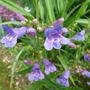Penstemon 'Heavenly Blue' (Penstemon 'Heavenly Blue')