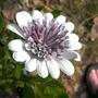 Osteospermum ecklonis, 3D Double Silver (Osteospermum ecklonis (Blue-and-white Daisybush))