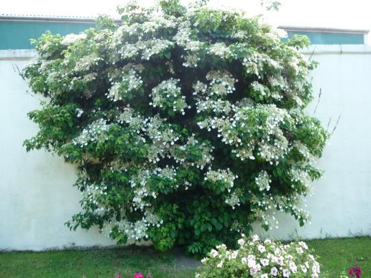 Hydrangea. (petiolaris)
