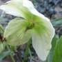 Christmas Rose Flowering Again April'13 (Helleborus niger)