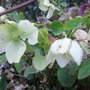 Christmas Rose Yet More Blooms April'13 (Helleborus niger)