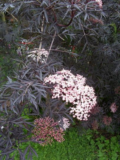 Sambucus nigra, black cut leaf elder flower (Sambucus nigra (Black Elder))