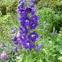 Delphinium (Delphinium dark blue white bee)