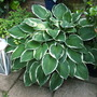 Hosta in pot