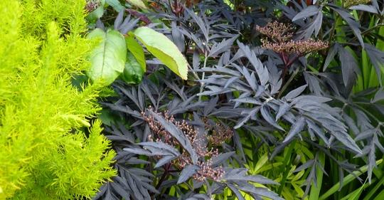 Tree Heather and Sambucus 'Black Lace' (Erica arborea)