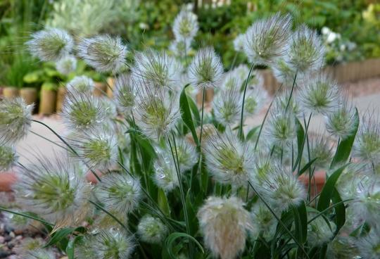 Lagurus Ovatus -'Bunny's Tail' Grass (Lagurus ovatus (Bunny Tails Grass))