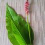 polygonum amplexicaulis