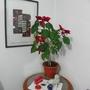 Flor_de_natal